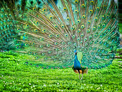 truyen-tieng-anh-the-disguised-peacock